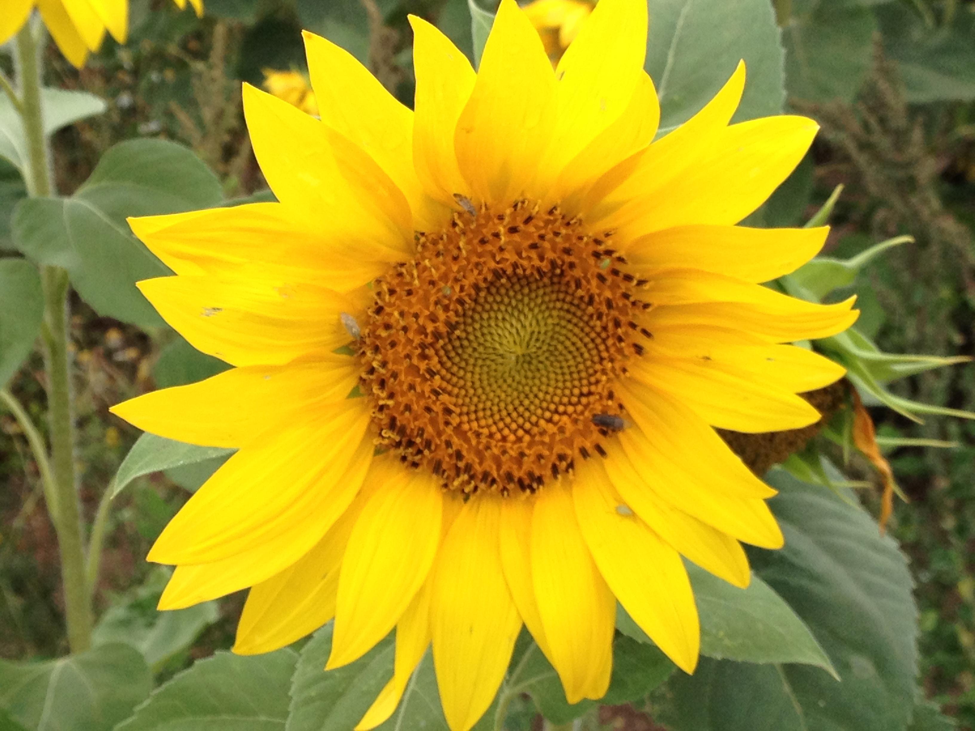Sonnenblumenfoto